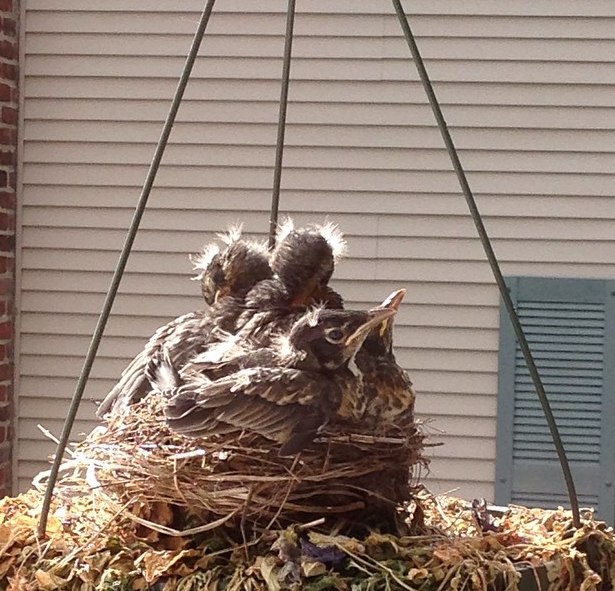 baby robins getting bigger, all four