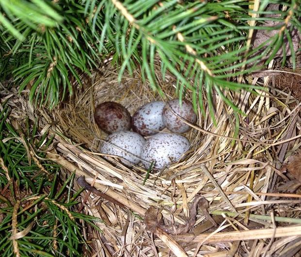 wrens nest