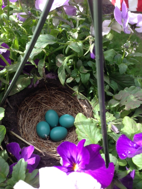 four robins eggs