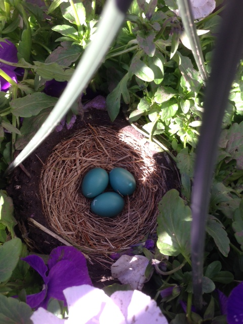 three robins eggs
