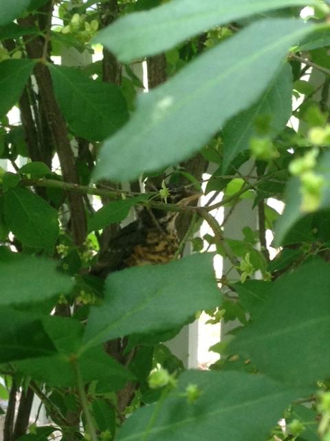 baby robin fly 2016