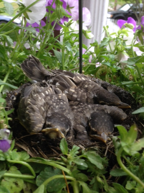 three baby robins 6/3/16